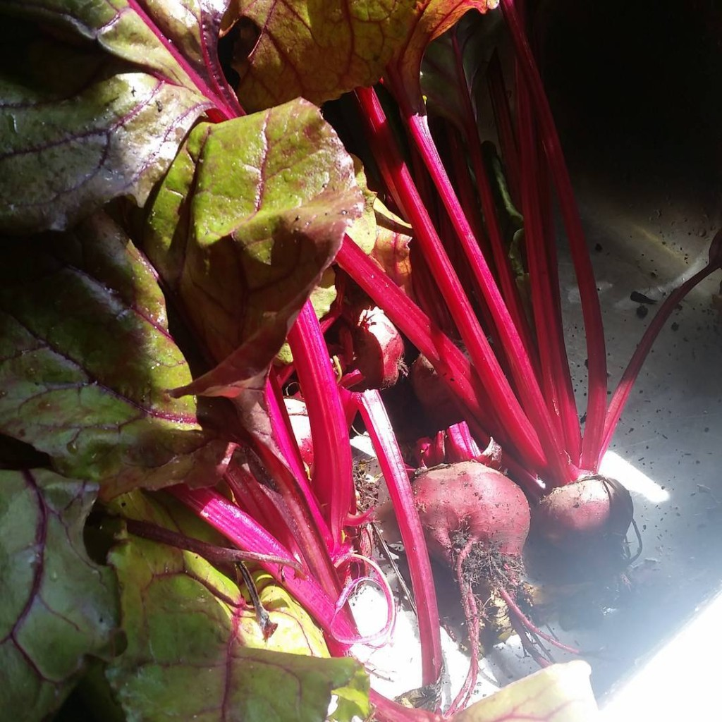 Home grown beetroots All my mums work